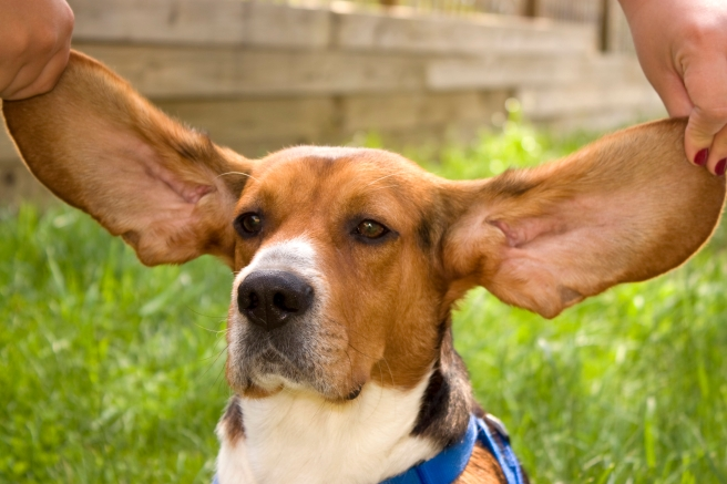 a-cute-young-beagle-puppy-with-huge-floppy-ears_HFQlgYS0ro.jpg